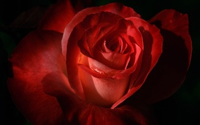 Wallpaper Bud, petals, rose, flower, rose