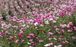 Picture white, field, pink, flowers