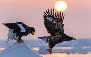 Picture the sun, snow, flight, birds, nature, wings, mining, White-tailed
