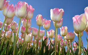 Picture spring, tulips, a lot, the sky, buds