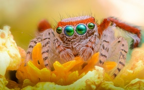 Wallpaper jumper, look, legs, eyes, flower, spider
