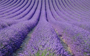 Picture field, nature, France, lavender, plantation, Provence