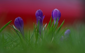 Picture grass, macro, flowers, background, petals, blur, purple, lilac, raspberry, Crocuses