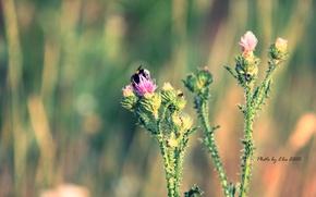Picture flower, summer, macro, bumblebee, thorn