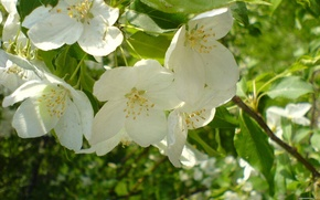 Picture Greens, Flowers, Nature, Spring, White, Flowers-of-the-tree