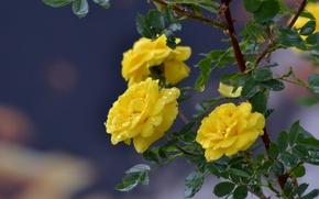 Picture drops, nature, rain, roses, beauty, spring, nadya-kornilova80