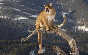 Picture trunk, Puma, big cat, mountain lion