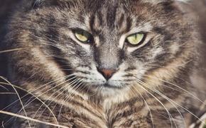 Picture mustache, look, face, forest cat, Wildcat