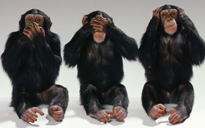 Picture eyes, mouth, Monkey, ears, three, chimpanzees