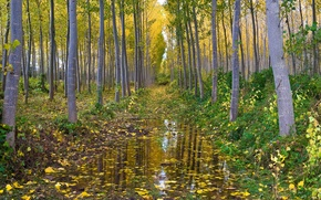 Picture autumn, forest, water, grove, aspen