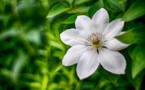 Wallpaper blur, macro, petals, clematis, clematis, knyazhik, leaves