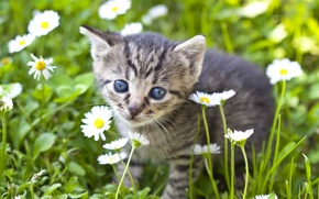 Picture flowers, look, chamomile, muzzle, baby, kitty
