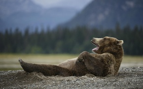 Picture nature, animal, bear, Mike