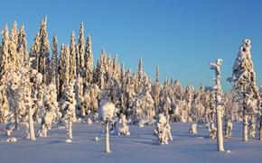 Picture trees, winter, snow, sunlight, pine