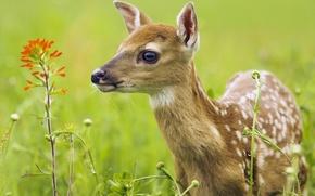 Wallpaper summer, grass, face, eyes, fawn
