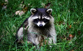Wallpaper grass, nose, muzzle, raccoon, sitting, ears
