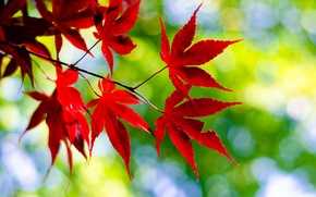 Picture leaves, macro, nature, sprig, red