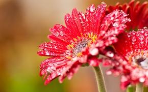 Wallpaper flower, drops, red, nectar, windows, beta, wcp, 8220