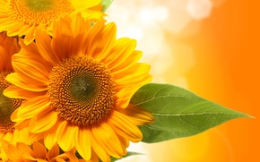Picture sunflowers, sheet, green