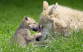 Picture grass, nature, wolf, the cub