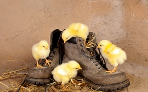 Picture Chicks, chickens, curiosity, straw, shoes