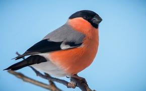 Picture bird, bullfinch, breast