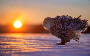 Wallpaper owl, snow, sunset