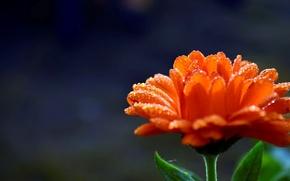 Picture flower, water, drops, flowers, orange, Rosa, background, widescreen, Wallpaper, blur, petals, wallpaper, flower, widescreen, background, ...