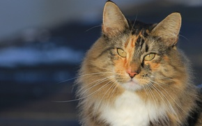 Picture cat, cat, mustache, look, portrait, muzzle, Norwegian forest cat