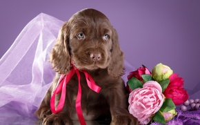 Wallpaper flowers, puppy, bow, Spaniel
