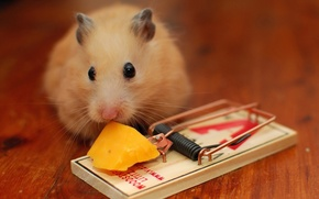 Picture cheese, mousetrap, mouse