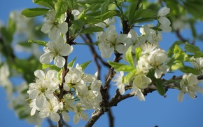 Picture flowers, cherry, tree, spring