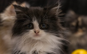 Picture fluffy, kitty, shaggy