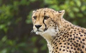 Picture look, portrait, Cheetah, wild cat