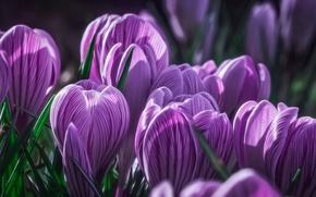 Picture purple, macro, buds, Krokus, saffron