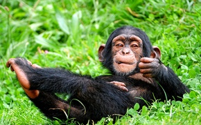 Picture BACKGROUND, GRASS, GREENS, WOOL, BLACK, MONKEY, VEGETATION, GREEN, CHIMPANZEES, The PRIMACY of