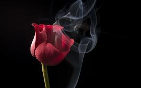 Picture rose, Nature, flower, flowers, beauty, scarlet, roses, velvet