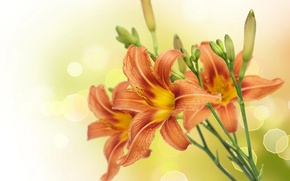 Wallpaper glare, Lily, background, close-up, blur, stems, buds