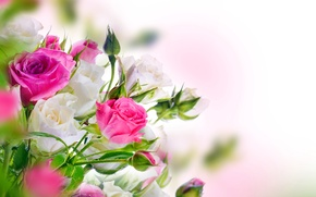 Picture roses, white, buds, pink, blossom, flowers, beautiful, roses