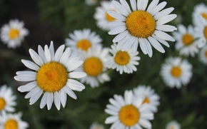 Picture field, flowers, chamomile