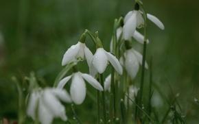 Wallpaper macro, Galanthus, spring, Snowdrops