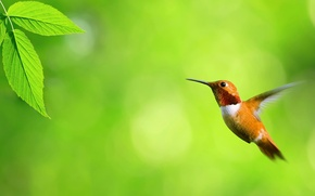 Wallpaper greens, flight, leaf, Hummingbird