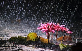 Picture flowers, lake, rain, water lilies