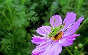 Picture macro, Flower, insect, flowers, macro, purple, Kosmeya, bug, Kosmeya