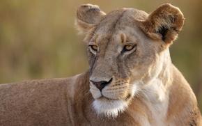 Picture portrait, predator, lioness, wild cat