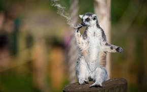 Picture lemur, hand-rolled cigarette, smoker