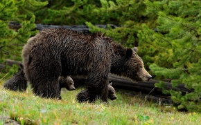 Picture walk, bears, grizzly, bear, motherhood