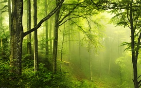 Picture greens, forest, nature, haze