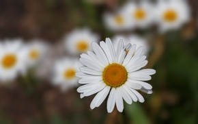 Picture white, yellow, chamomile, green