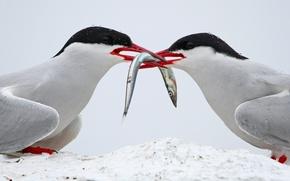 Picture birds, nature, fish, Arctic Terns